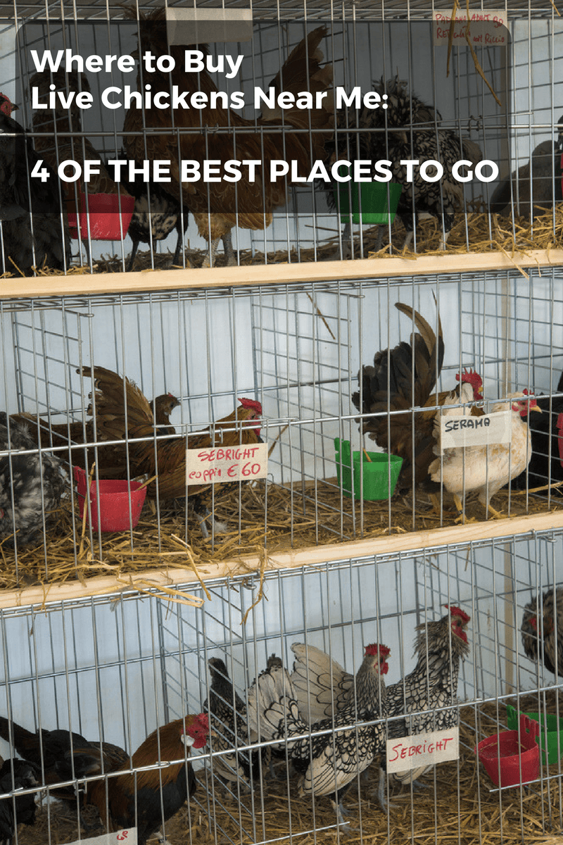 where to buy live chicken